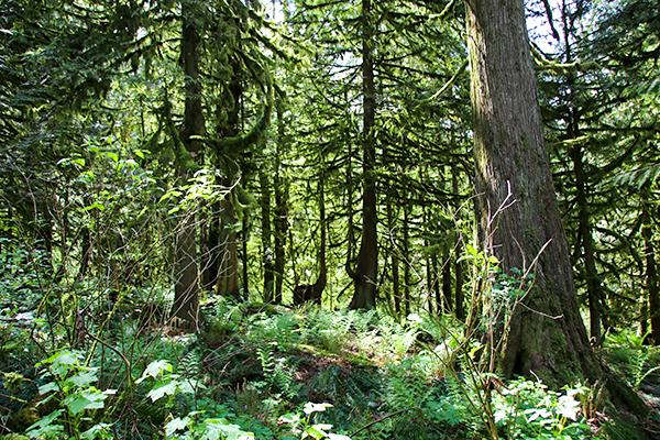 western-red-cedar-forest